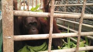 2 orangutan keluar dari habitatnya hutan yg terbakar di kawasan Trans Kalimantan Km 30 Kalteng. Dapat diselamatkan.