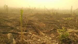 Lahan bekas kebakaran di Nyaru Menteng Palangkaraya sudah ditanami kelapa sawit. Habis bakar terbitlah sawit.