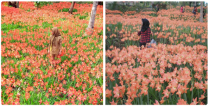 @Jogja24Jam Baru! Ini kebun Bunga, ada di Gunungkidul. Hanya setahun sekali. Masa berbunga diawal musim penghujan saja