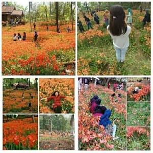 """@InfoTimlo 28/11/2015 13:59:50 WIB Kebun Bunga """"Amaryllis"""" Di Gunung Kidul Rusak Diinjak Wisatawan"""