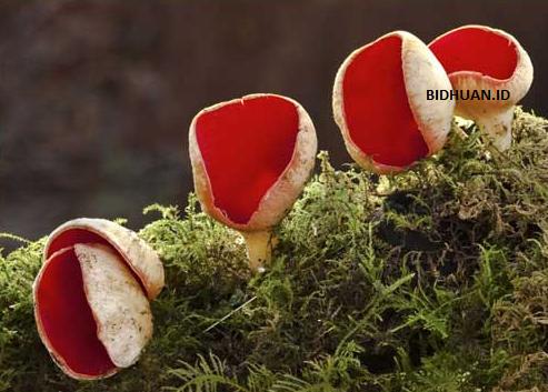 Klasifikasi jamur ascomycota