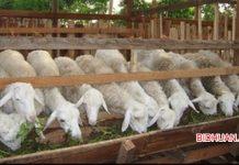 8 Tips Memulai Usaha Ternak Kambing yang Wajib Diperhatikan
