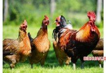 Ternak Ayam Kampung - Cara Ternak Ayam Tanpa Modal Besar