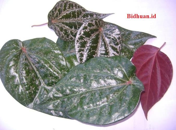 Manfaat daun sirih merah untuk tukak lambung