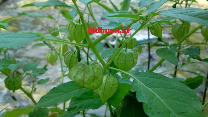 Obat bisul alami di wajah dengan daun ciplukan